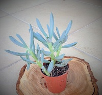 Senecio serpens 'Blue Chalksticks'
